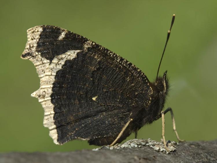 бабочка траурница фото