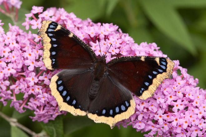 траурница бабочка фото