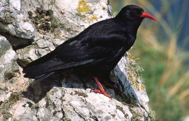 птица клушица фото