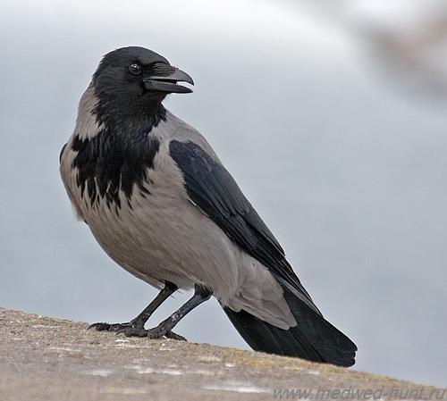 врановые. серая ворона фото
