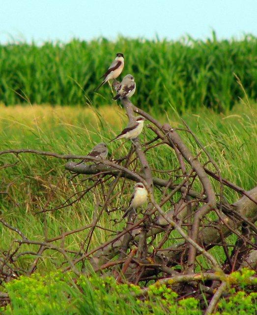 Чернолобый сорокопут фото