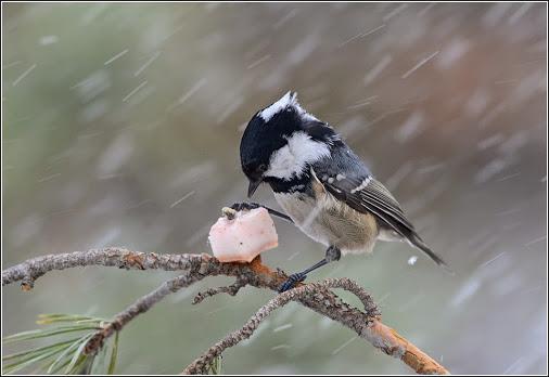птица московка фото
