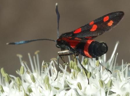 Бабочка пестрянка фото