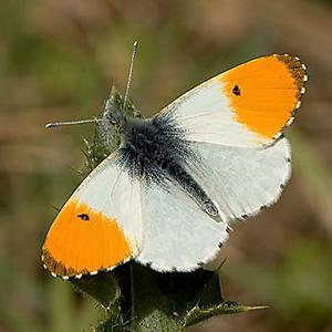 Бабочка зорька фото