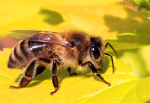 Медоносные пчелы фото