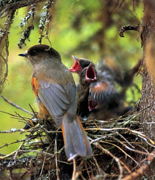 Кукша птица фото