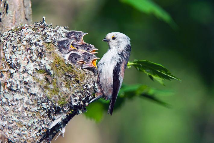Длиннохвостая синица и птенцы фото
