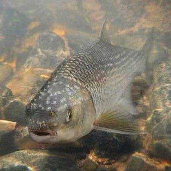 рыба вырезуб фото