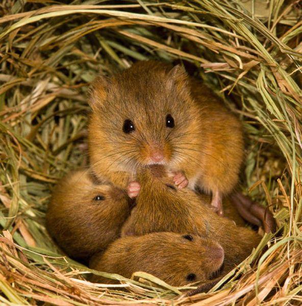 мышь с потомством фото