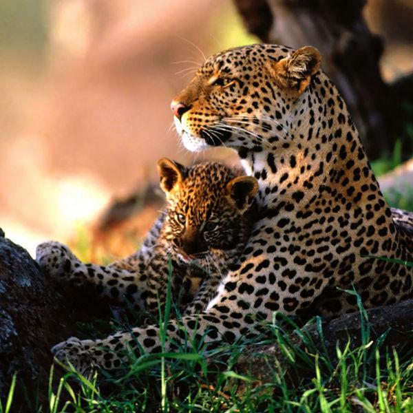 Дальневосточный леопард фото