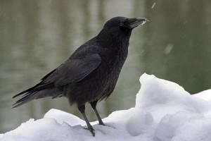 Чёрная вороона фото