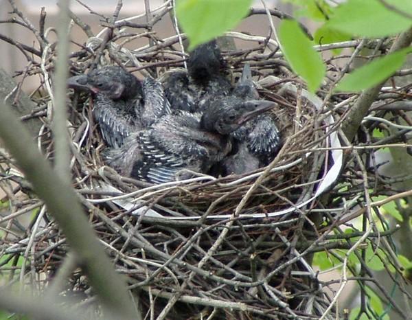 птенцы черной вороны фото