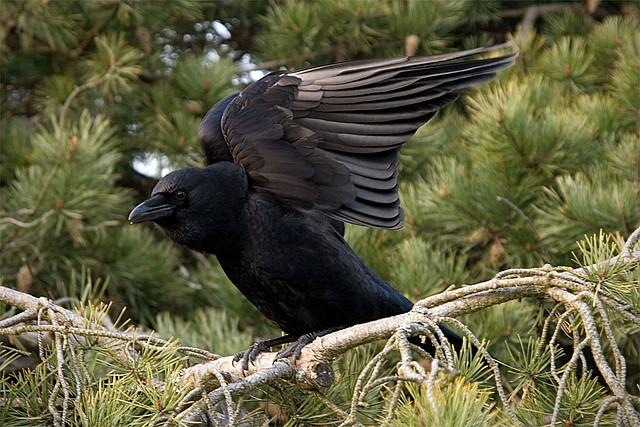 Чёрная ворона фото