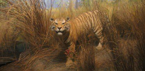 Туранский тигр фото