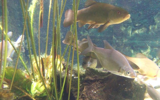 рыба Белоглазка фото