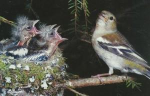 гнездо зяблика фото