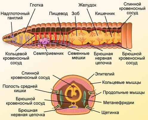 Кольчатые черви строение фото