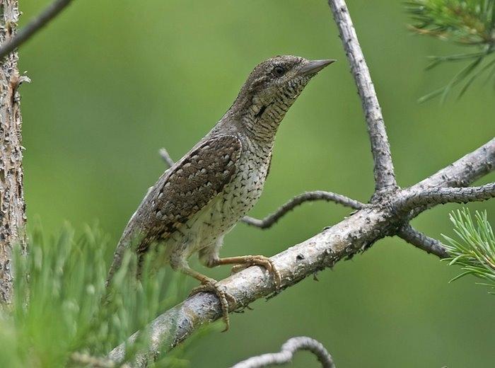 птица вертешейка фото