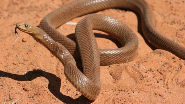 ядовитые змеи. тайпан фото