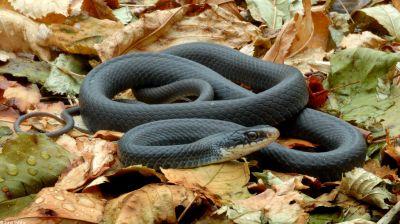 ядовитые змеи. черная мамба фото