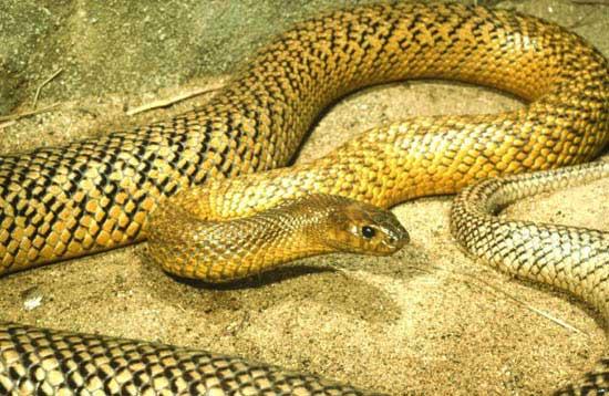 ядовитые змеи. жестокая змея фото