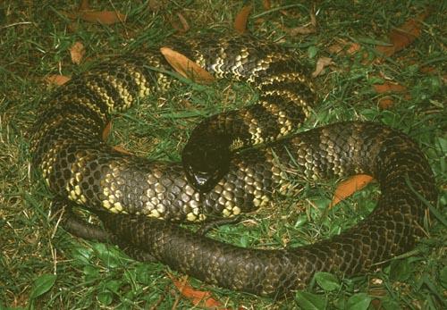 ядовитые змеи. тигровая змея фото
