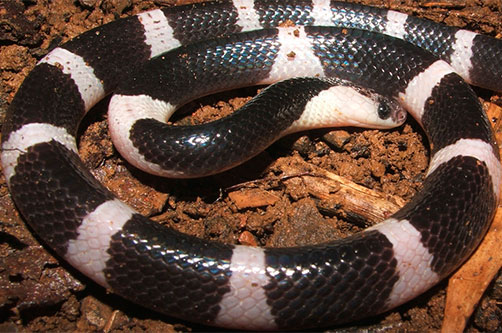 ядовитые змеи. малайский крайи фото