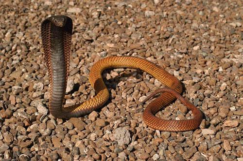 ядовитые змеи. египетская кобра фото