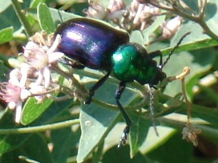 жуки красотелы фото