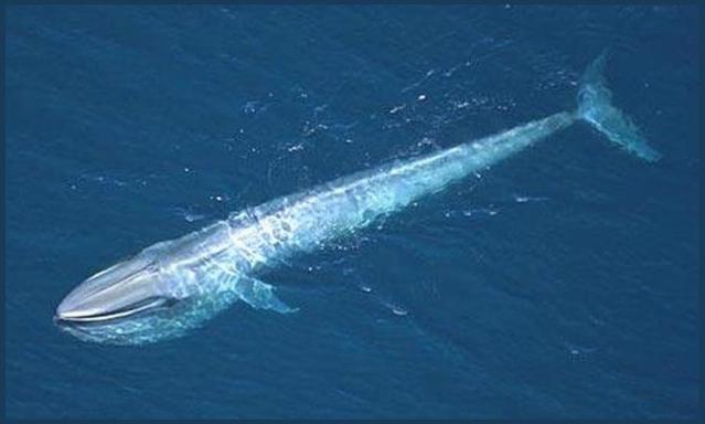 китообразные. синий кит фото