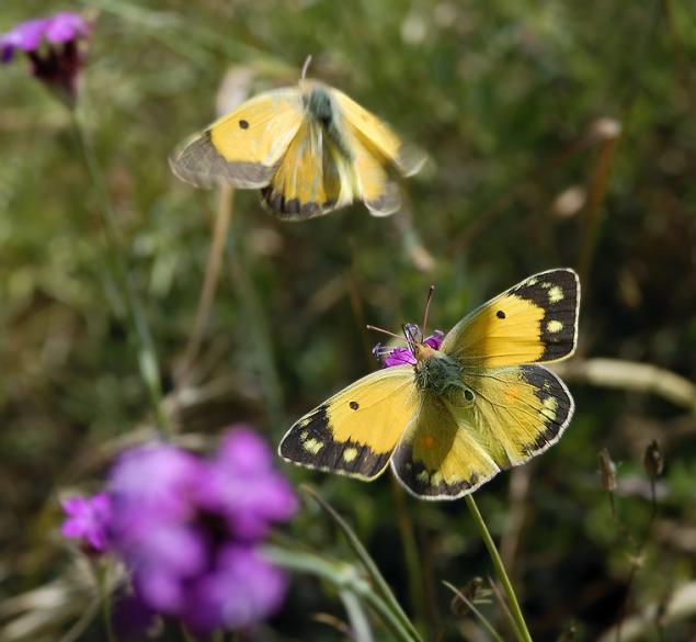 желтушка луговая фото