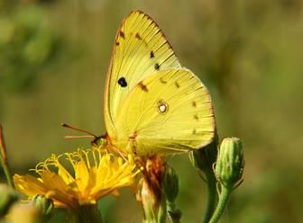 Бабочка желтушка фото