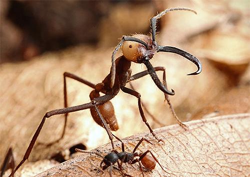 Кочевые муравьи фото