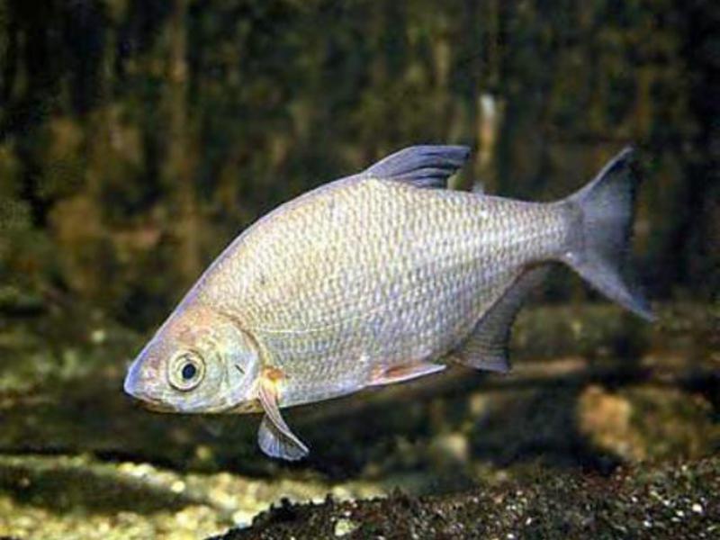 рыба Густера фото