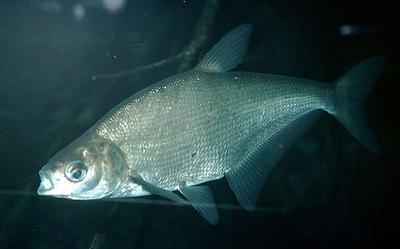 рыба синец фото