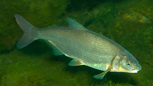 Рыбец фото
