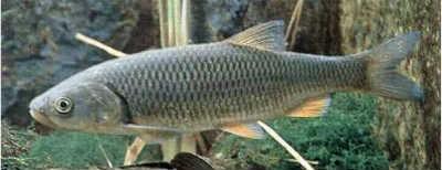 Рыбец рыба фото