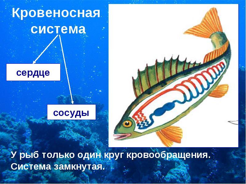 Кровеносная система рыб фото