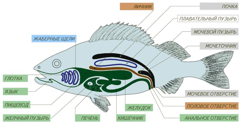 Пищеварительная система рыб фото