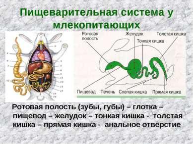 Пищеварительная система млекопитающих фото