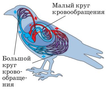 Кровеносная система птиц фото