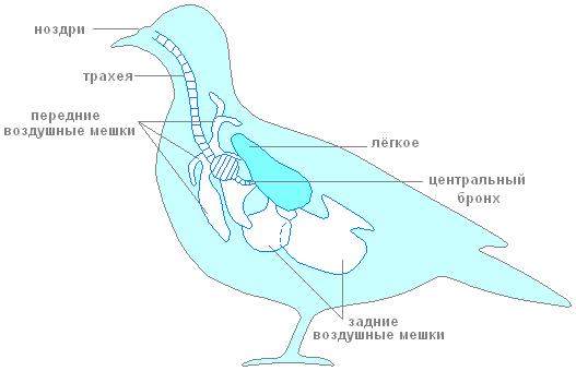 Дыхательная система птиц фото