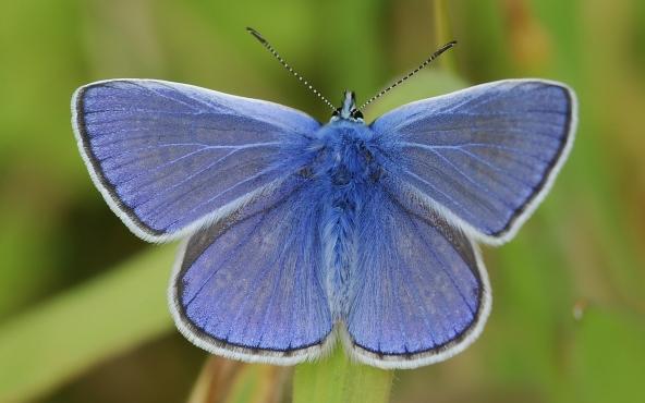 Бабочка голубянка фото