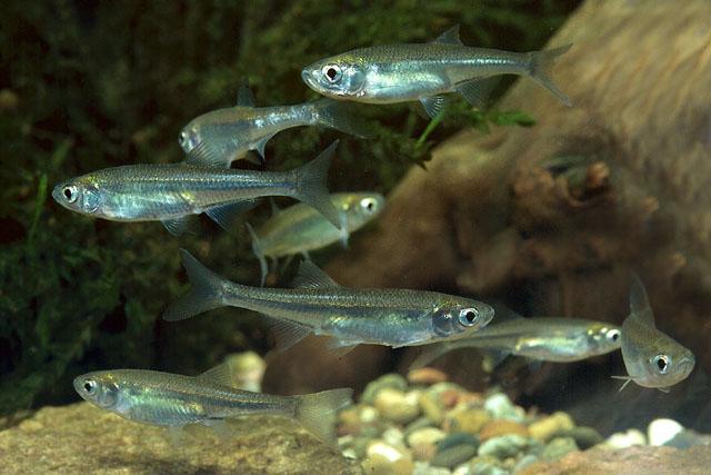рыба верховка фото