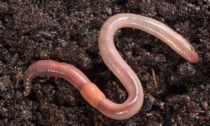 Земляные черви фото
