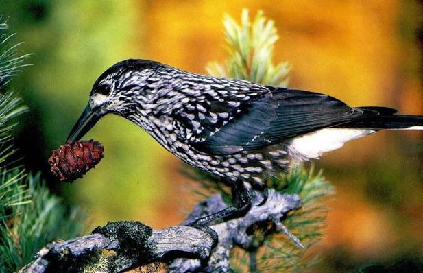 птица Кедровка фото