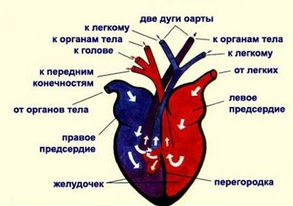 Кровеносная система пресмыкающихся фото