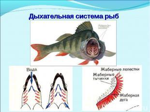 Дыхательная система рыб фото