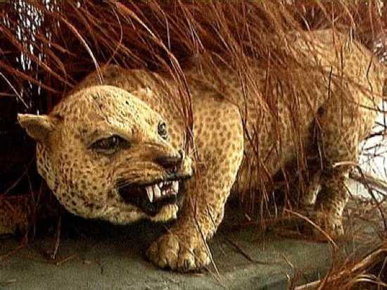 Занзибарский леопард фото
