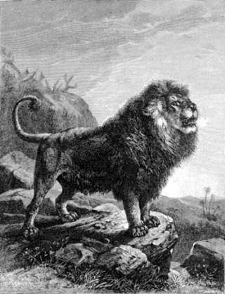 Барбарийский лев фото